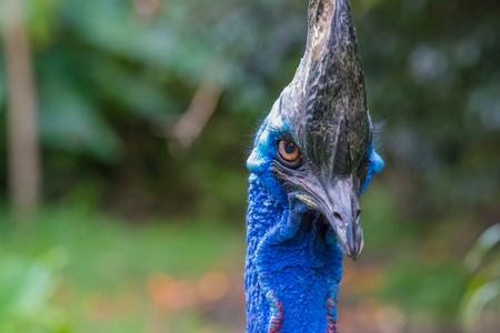 southern cassowary looking in the camera close up in nature Papua New Guinea