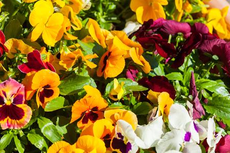 multicolored primroses spring bloom Italy