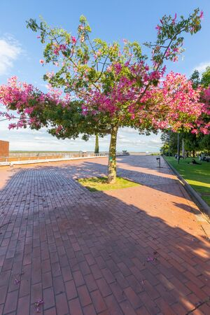 Rosario Argentina February 9 Flowering tree in a park on the riverside of Parana one of the longest rivers of South America.  Shoot on February 9, 2020 写真素材