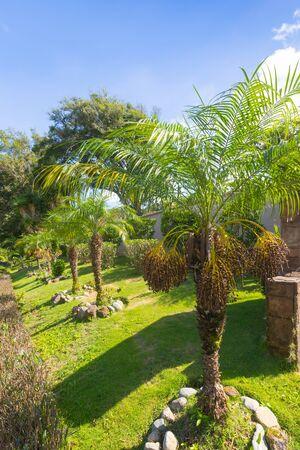 Costa Rica phoenix dactylifera date palms in a pubblic garden Stockfoto