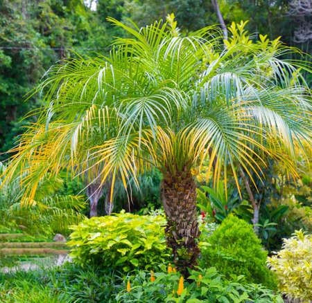 Costa Rica Pygmy date palm portrait Stock Photo