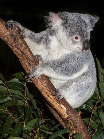 koala are native to australia sleep many hours a day