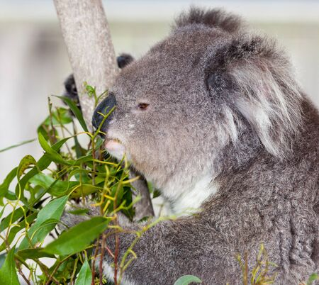 the marsupial koala who only eats gum leaves
