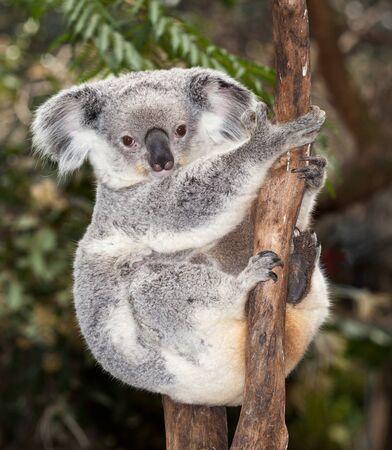 gorgeous koalas at Blackbutt Newcastle