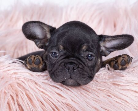 The French Bulldog is a breed of domestic dog.