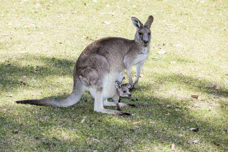 mère kangourou avec bébé écrasé dans une poche