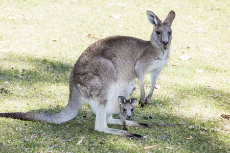 mother kangaroo with baby squashed into pouch