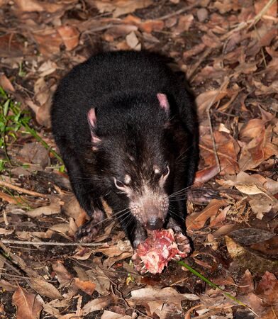 The Tasmanian devil is a carnivorous marsupial of the family Dasyuridae. It was once native to mainland Australia and is now found in the wild only on the island state of Tasmania, Stock Photo