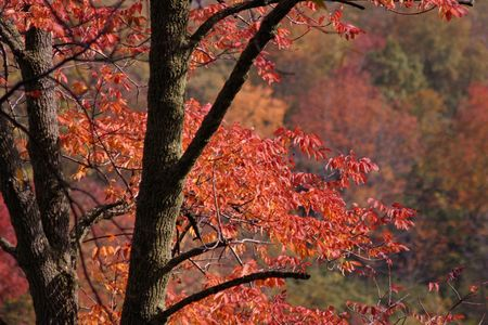 ash tree: Brilliant Autumn Ash Tree Colors Stock Photo