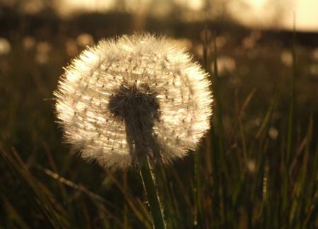 backlit: Backlit dandelion