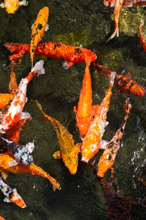 koi pond: Looking down into a pond of Colorful koi fish swimming at the surface.