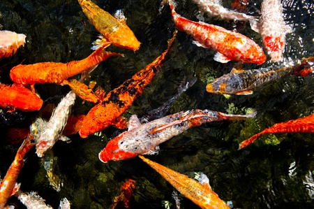 Looking down into a pond of Colorful koi fish swimming at the surface.