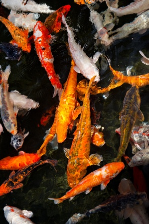 Looking down into a pond of Colorful koi fish swimming at the surface. photo