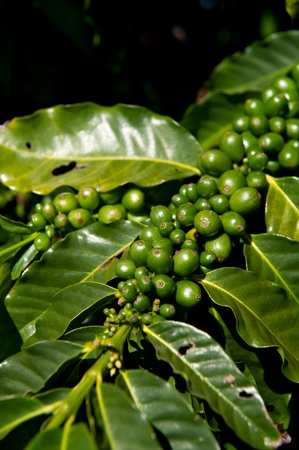 Green coffee beans growing on the branch in Kauai, Hawaii. Stock Photo