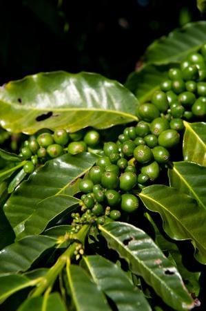 Green coffee beans growing on the branch in Kauai, Hawaii. Stock Photo