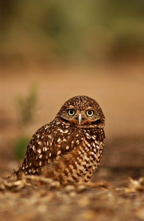 Close up of a burrowing owl sitting on the ground.  The owl is an educational bird in Phoenix, Arizona. photo