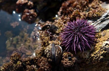 pilluelo: Un colorido morado erizo de mar que se encuentra en una piscina de marea en una playa de California. Foto de archivo