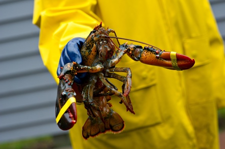 A freshly caught Maine lobster is held up by a fisherman wearing a yellow coat and blue protective gloves.