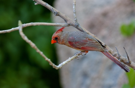 Female cardinal with a bright red beak is perched on a tree branch.