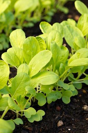 有機ベビー チンゲン菜の行は、庭で成長し始めています。 写真素材