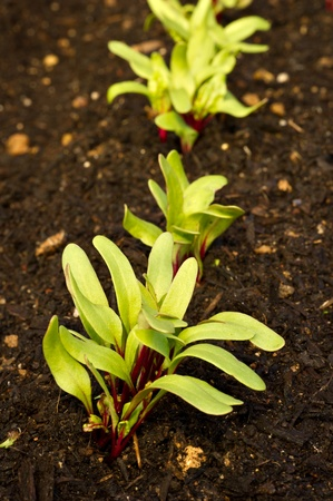 有機ビートの行は、庭で成長し始めています。 写真素材