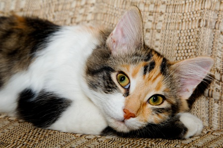 calico cat: Calico cat resting on a chair.  She is laying with her head on her arm and is looking at the camera.