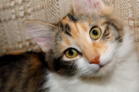 head tilted: Calico cat hanging out on a chair.  She has her head tilted and is looking at the camera. Stock Photo