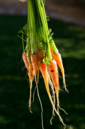community garden: Large bunch of carrots just harvested and washed from a home garden. Copy space.