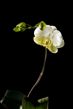 Beautiful, blooming, white Phalaenopsis orchid on a black background.