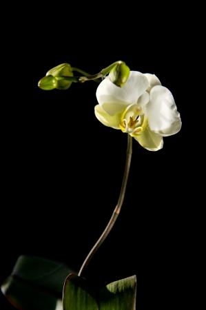 Mooie, bloeien, witte Phalaenopsis orchidee op een zwarte achtergrond. Stockfoto