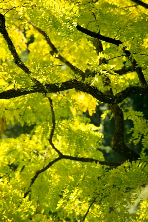 Bright fresno de hojas verdes contra las ramas de color marrón oscuro de un fresno en los Jardines Butchart en Columbia Británica, Canadá en un día de verano soleado.