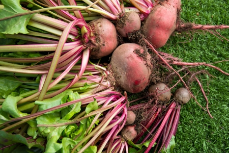 Fresh organic beets just picked from the garden shot on green grass. Stock Photo