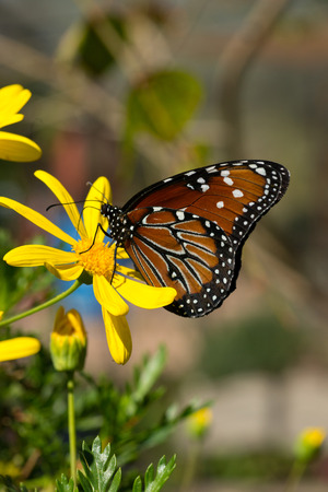 Beautiful open winged butterfly on a yellow flower  photo