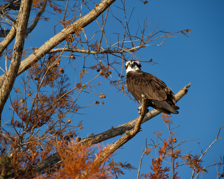 osprey bird: An Osprey  Pandion haliaetus  perching on a branch in the Florida Everglades looking for something to eat
