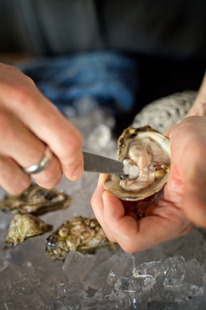 shuck: Shucking fresh oysters with a knife over an ice bin. Stock Photo