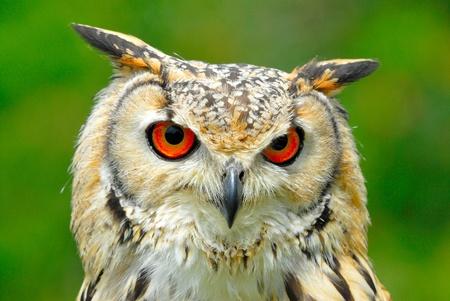 eagle owl head from face with red eyes
