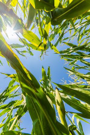 crecimiento planta: Ma�z o campo de ma�z que crecen en el verano en los rayos de sol