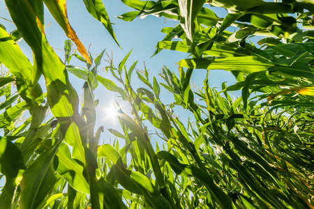 Corn or maize field growing on during summer in rays of sun Imagens