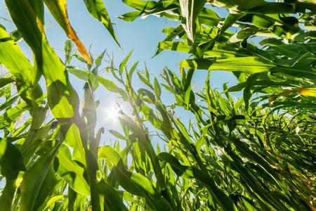 Maïs of maïs veld groeien op in de zomer in de stralen van de zon