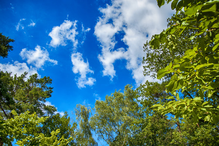 blue summer sky: Green leaves of trees on blue sky with amazing clouds