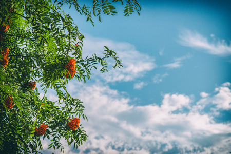 rowan tree: Rowan tree with berries on blue sky background Stock Photo