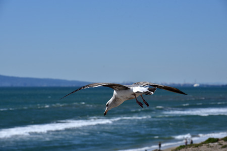 A seagull hovering stationary above Huntington Beach in a headwind