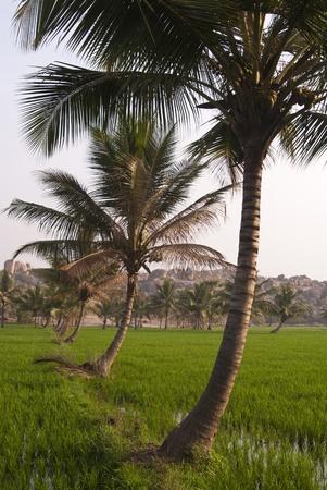 ココヤシの木、ハイヌヴェレと田んぼ 写真素材 - 12117118