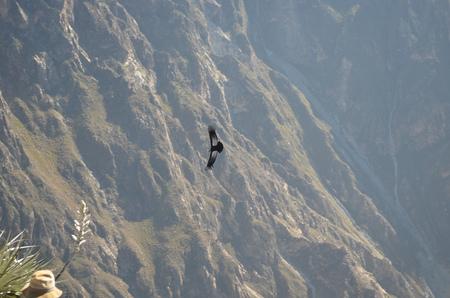 An Andean Condor (Vultur Gryphus),  at the Cruz del Condor in the Colca Canyon, Arequipa, Peru. Stock Photo