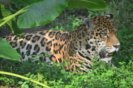 A Jaguar in the Amazon rain forest. Iquitos, Peru Stock Photo