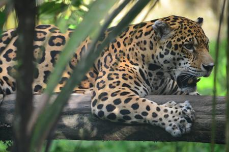 A Jaguar in the Amazon rain forest. Iquitos, Peru Фото со стока