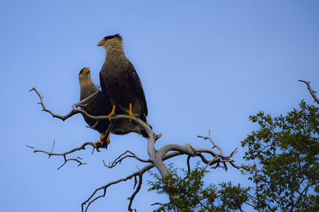 Southern crested Caracara perched in a tree within the Torres del Paine National Park, Chile