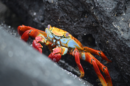 Sally lightfoot crabs (Grapsus grapsus) walk across volcanic rocks in the Galapagos Islands. 写真素材