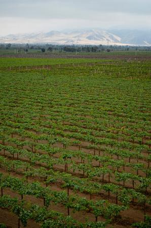 Peruvian Pisco and wine production in vineyards near Ica, Peru Stock Photo