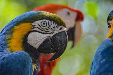 Blue, Yellow and Red Macaws in the Amazon rainforest